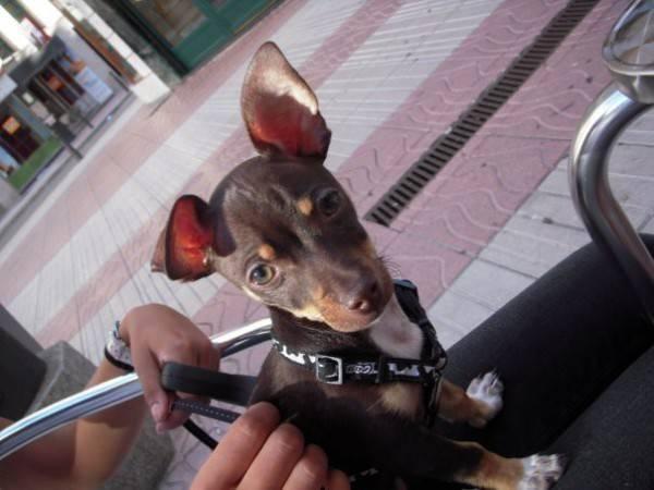 Un precioso Chihuahua