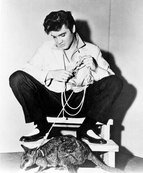 Mascotas exoticas Elvis presley canguro