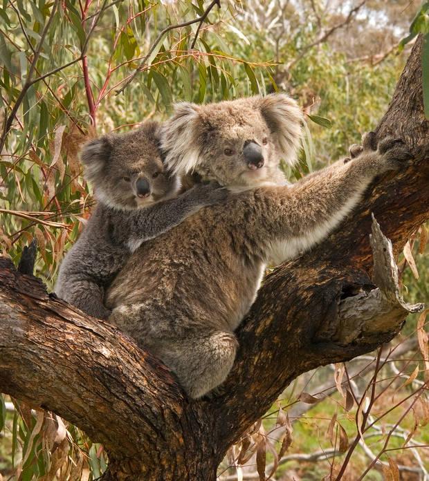 Mascotas exóticas Koala