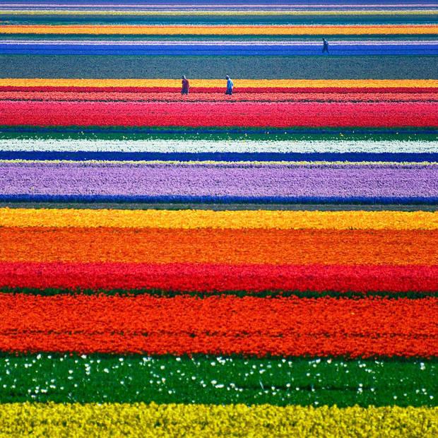 lugares curiosos Campos de tulipanes en Holanda