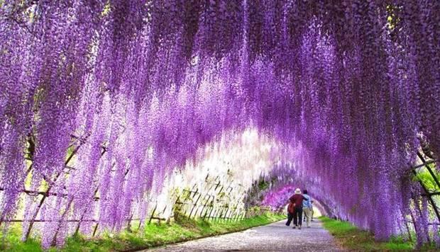 Lugares curiosos El túnel de las glicinias en flor